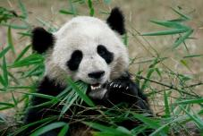 Panda Chine - Activit Chine